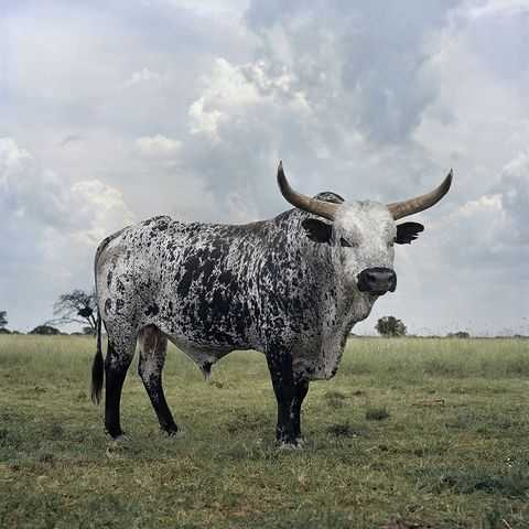 сон белый бык нападает