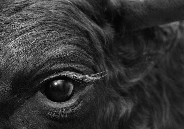 толкование снов о черных быках