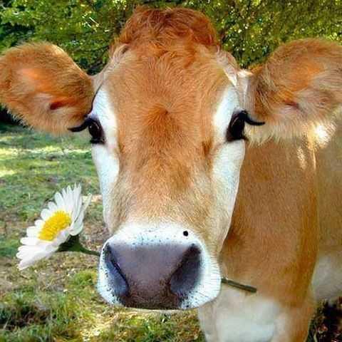 коровы во сне