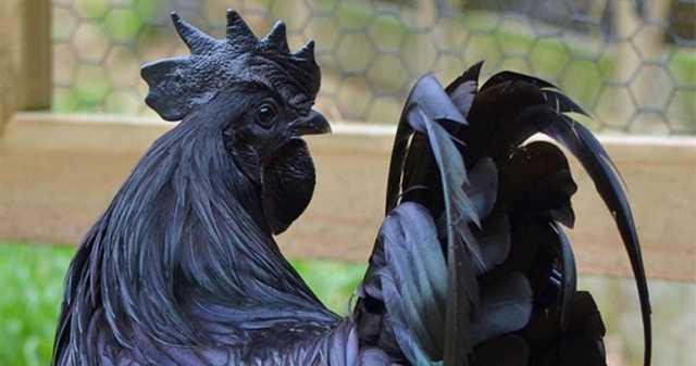 сон белая черная курица