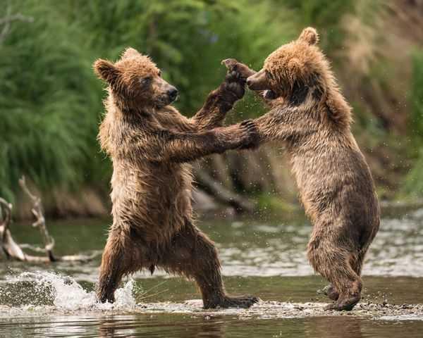 медведи снятся