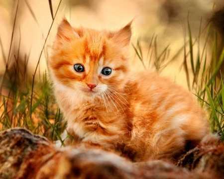 сон рыжий кот