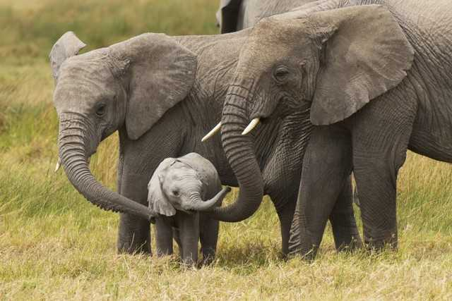 приснились слоны