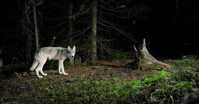 волчица с волчатами во сне