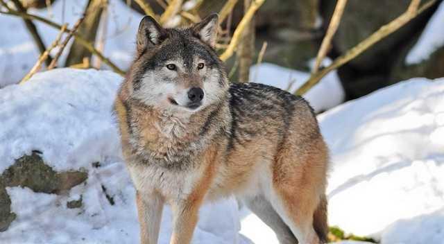 снится белый волк девушке