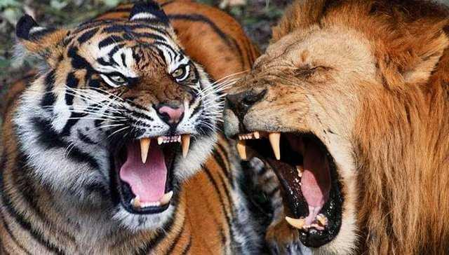 сон тигр и лев