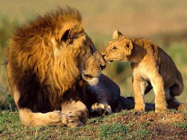 лев снится девушке