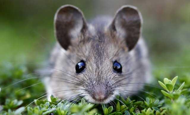 почему приснилась мышь