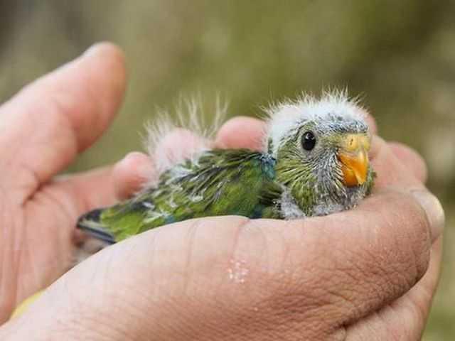 сонник попугайчик