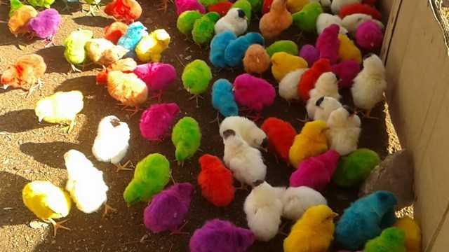 снятся разноцветные курята