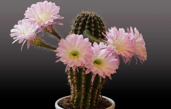 Цветущие комнатные кактусы