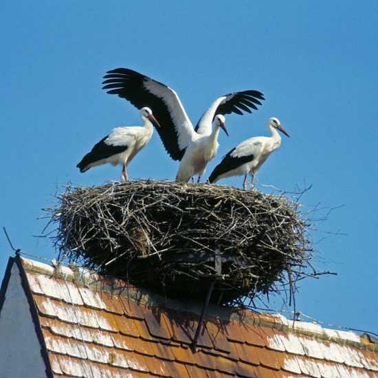 Аист, живущий на крыше дома