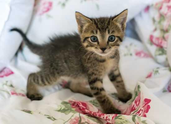 Серый котенок-девочка