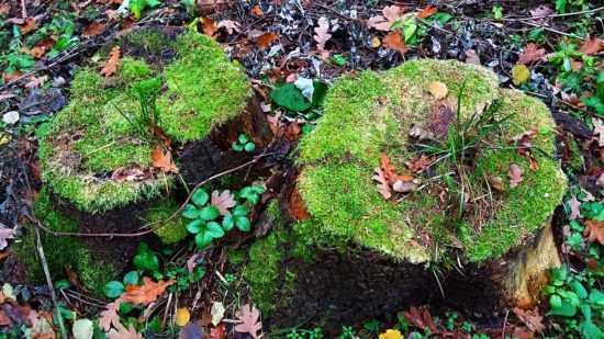 Пень в лесу