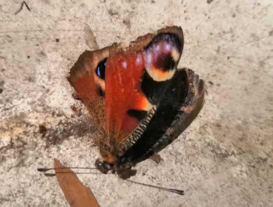 Мертвая бабочка в квартире