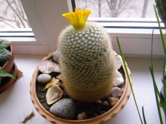 Комнатный кактус