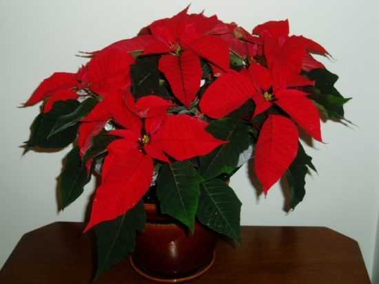 Цветок c ярко-красными лепестками