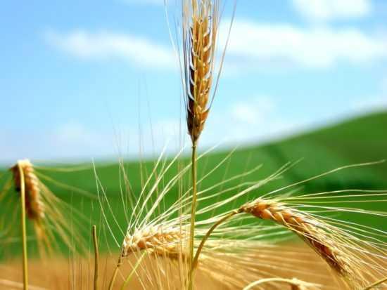 Пшеничный колосок