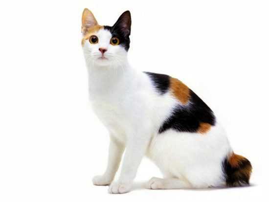 Трехцветные коты