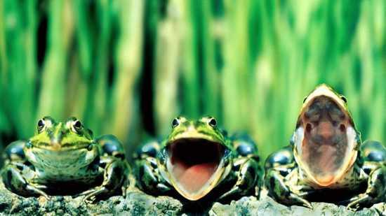 Квакающие лягушки на болоте