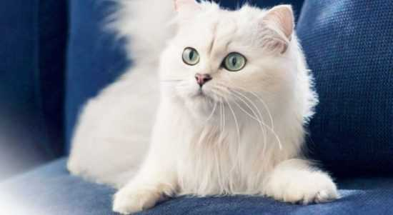 Белые коты в доме