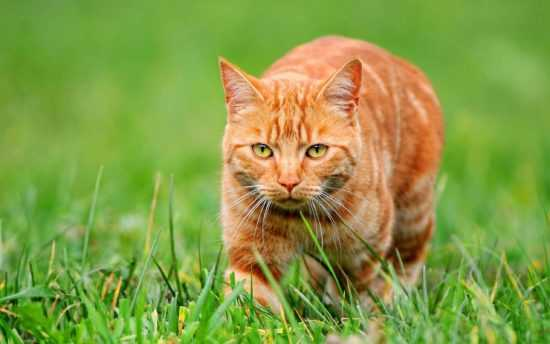 Исчезновение кошки