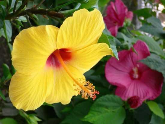Гибискус - цветок лечебный
