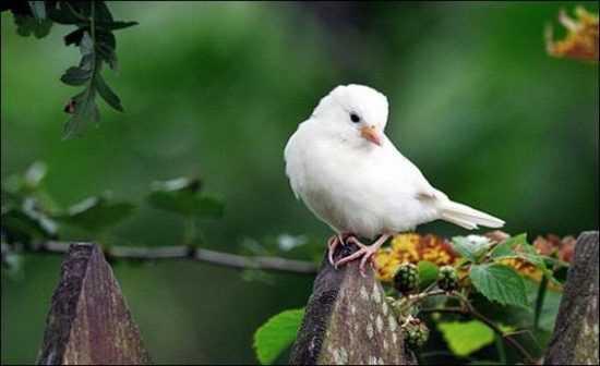 Воробей альбинос