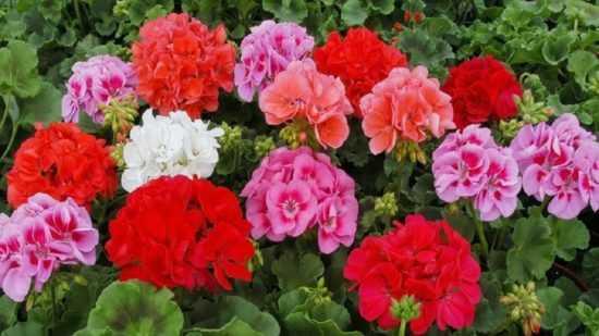 Герань, окрас цветков
