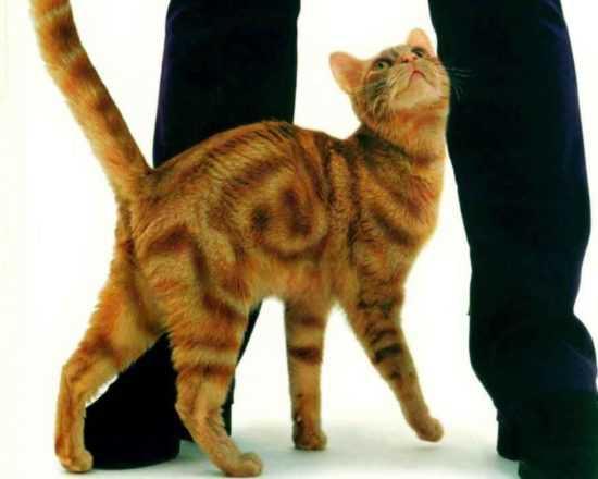 Рыжая кошка трется об ноги