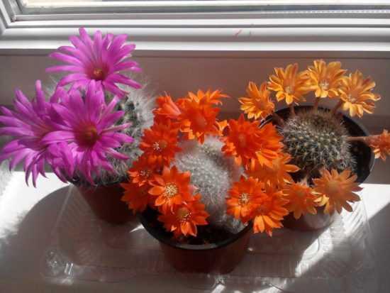 Цветущие домашние кактусы