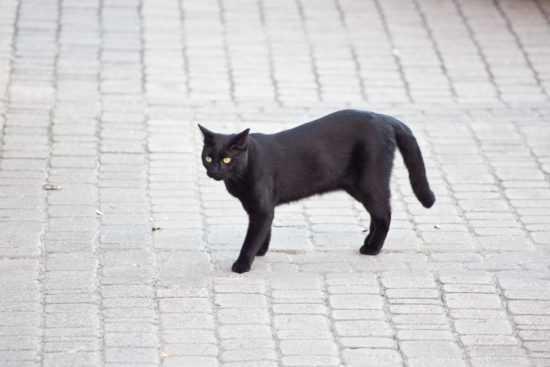 Черная кошка, перебегающая дорогу