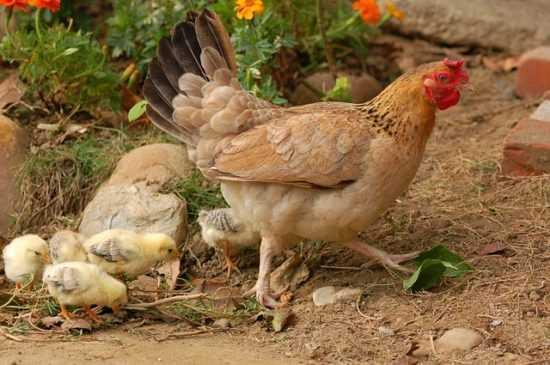 Заговор с использованием куриных лапок