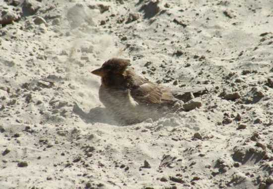Воробьи барахтаются в песке