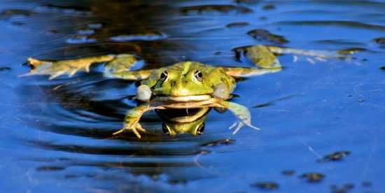 Лягушка в пруду