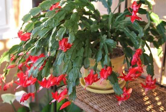 Цветок Шлюмбергер