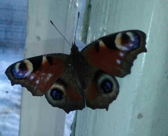 Бабочка зимой в доме