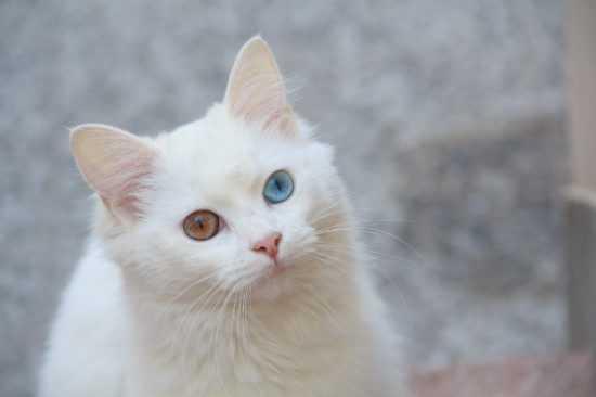 Белая кошкас разными глазами